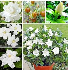 2 Pcs Gardenia Bonsai (Cape Jasmine) Amazing Smell & Beautiful Flowers Rare Bonsai Flower Bonsai for Indoor Plants - (Color: Mix)