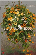 100 Pcs Climbing Flowers Black-Eyed Susan Bonsai Thunbergia Alata Flower Bonsai Black Eyed Susan Vine Gorgeous Sunrise Plant