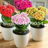 100 Pcs Winter Pot Kalanchoe Bonsai Longevity Flower Potted Plants Planting Seasons Flowering Plants Plants for Garden Supplies