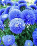 100 pcs Chinese Aster Bonsai, Strong Ability to reproduce, Bonsai Plant for Home Garden and Courtyard in Flower Pots Planters