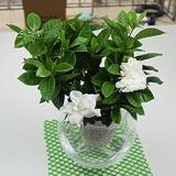 100 Pcs/Bag Rare Flower Gardenia Fragrant Indoor Office Desk Bonsai Evergreen Tree The Germination Rate 95% Fast Growing