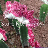Euphorbia Lactea Seed 100Pc Perennial Succulent Its Shape is Peculiar and Beautiful with High Ornamental Value DIY Home Garden