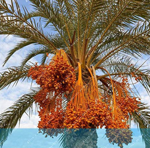 Us 1 99 10pcs Rare Medjool Date Sweet Organic Fruit Natural Date Palm Tree Bonsai Planting For Spring Farm Supplies M Deargogo Com