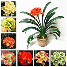 Hot Sale Clivia Miniata Bonsai Gorgeous Bonsai Rare Bush Lily Flower Bonsai DIY Home Garden with High Ornamental Value