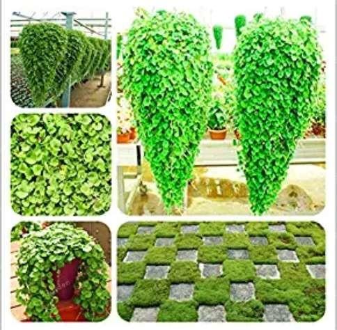 Us 1 99 Dichondra Bonsai Emerald Falls Multi Leafed Grass Bonsai Green Perennial Plant Dichondra Repens Bonsai Potted Plants 100 Pcs Bag M Deargogo Com
