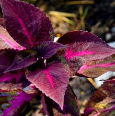 100PCS Bonsai Plants Garden Rare Plants Red Shiso Frutescens Purple Perilla Plantas, Perilla frutescens Flores