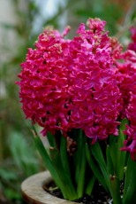 2PCS Purple Red Hyacinth Bulbs (IN STOCK from Sep to Next Jan)