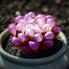 Haworthia Seeds