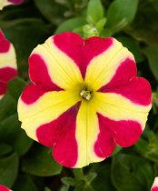 200PCS Petunia 'Amore Queen of Hearts' Seeds  sh336Q