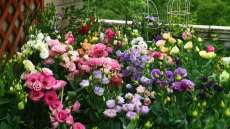 100PCS Mixed Eustoma Seeds Imported Eustoma grandiflorum Mixed Dozens of Varieties (seed pelleting already)