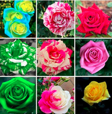200PCS Mixed 9 Kinds of Rare Rose Flower Together Beautiful Bonsai Rose Tree and Climing Rose Flower for Outdoor Home Garden