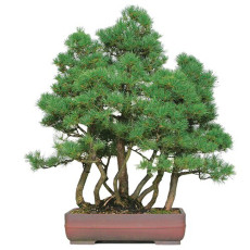 50PCS Japanese Five Needle Pine Seeds