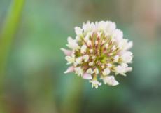 500PCS Trifolium repens Seeds White Clover Hokkaido