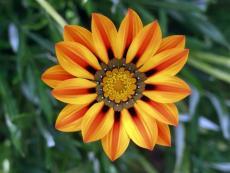 20PCS Orange Gazania Flower Seeds