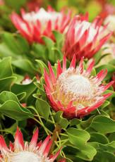 2PCS Protea Cynaroides Hybrid Seeds 100% Real Variety