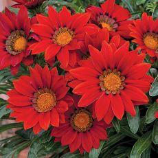 20PCS Red Gazania Flower Seeds Treasure Flower
