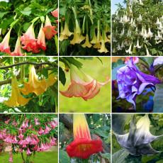 100PCS Brugmansia Datura Mixed Seeds