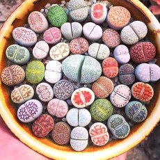 100PCS Lithop Mixed Seeds