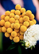 100PCS Craspedia Globosa Seeds Yellow Drumstick Perennial Billy Buttons