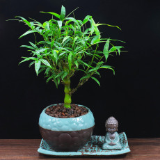 100PCS Buddha Bamboo Seeds Bonsai Ornamental Plants