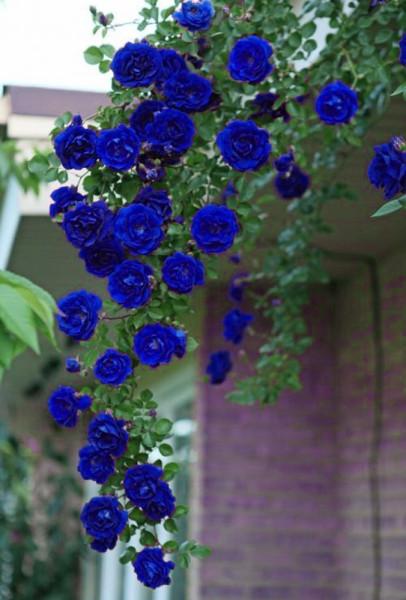 50PCS Blue Climbing Rose Seeds