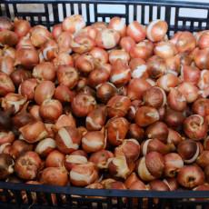 10PCS Imported Hydro Tulip Bulbs Fresh Garden Bulbs All Season Planting Available