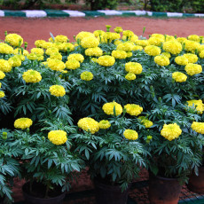 50pcs/lot Bright Yellow Potted Marigold Seeds
