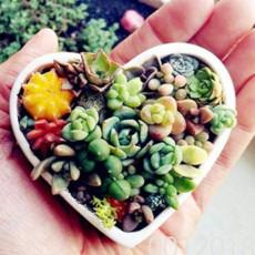 100pcs Lithops Bonsai Living Stones Succulent Cactus Organic Garden, Office Desktop Bonsai for Indoor suculentas plantas color 8