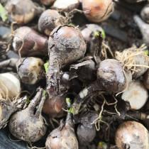 10PCS/lot Lycoris Species of Fresh Bulbs Garden Plants Potted Bonsai Hot Red Bana Bulbs