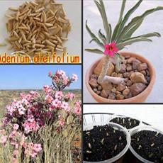 100PCS Fresh Real Adenium oleifolium - Adenium Obesum semillas - Bonsai Desert Rose Flower Plant Sementes