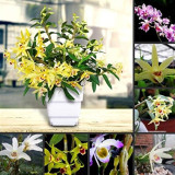 1 POD Dendrobium officinale Seeds (Flower Powder) Mixed Colors Flowers
