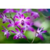 1 POD Dendrobium officinale Seeds (Flower Powder) Purple Flowers