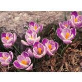 50PCS Saffron Crocus Seeds