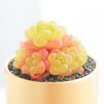 10PCS Haworthia cymbiformis var. obtusa Seeds Golden Pink Hybrid Succulent Plants Bonsai Rare Seeds