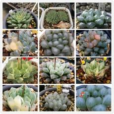 20PCS Mixed  Haworthia Seeds (approx 15 varieties) Hawor Succulent Bonsai Plants Seeds