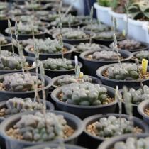 10PCS 'Ice Lantern' Bing Deng Haworthia Seeds Bonsai