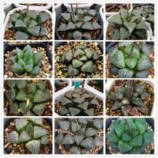 20PCS Haworthia emelyae var. Seeds Mixed Approx 16 Varieties