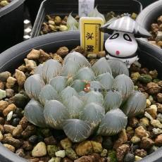 10PCS 'Ice Crystal' Bingpo Haworthia Seeds Transparent Succulent Bonsai Plant Seeds