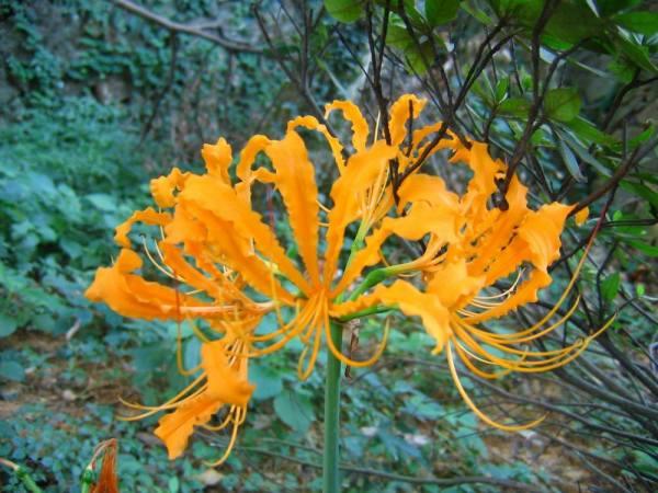 15 BULBS Lycoris Radiata Orange Yellow Manjusaka  Flowers Perennial