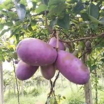 20PCS Holboellia latifolia Wall. Fruit Seeds Chines Heirloom Wild Banana Fruits