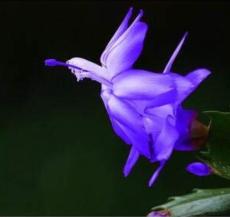 20pcs/Bag Beautiful Zygocactus Truncatus,schlumbergera Plants Easy to Grow Indoor Potted Plants