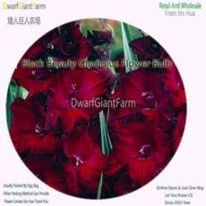 3Pcs A Set Vaniot Houtt Flower Gladiolus Bulb - (Color: Black Beauty)