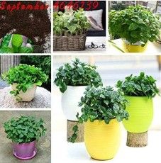 200pcs Cat Mint Aromaticpotted Plants Catnip Flores Heirloom Spearmint Herb plantas Aromatic Catnip Peppermint Bonsai Plant