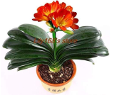Clivia Bonsai, Indoor Seed Home Garden vase Four Seasons Flowers Seed 50pcs - (Color: A1)