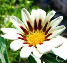 Gazania Bonsai Multicolor Mixed Plant Beautiful Gazania Flower Garden, 100pcs/Lot