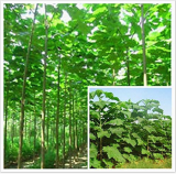 Paulownia elongata New Forest Tree Bonsai, 200Pcs/pack Fast Growing Tree