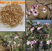 100% Fresh Real Adenium boehmianum - Adenium Obesum semillas - Bonsai Desert Rose Flower Plant Sementes - (Color: 20pcs)