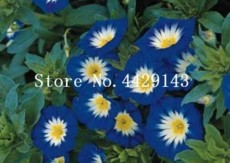 100 Pcs/Bag Rare StarBlue Bonsai Garden and Patio Potted Plant Morning Glory Flowers Bonsai