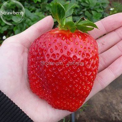 Giant Strawberry Seeds RARE Fragaria Ananassa Huge Fruit Heirloom