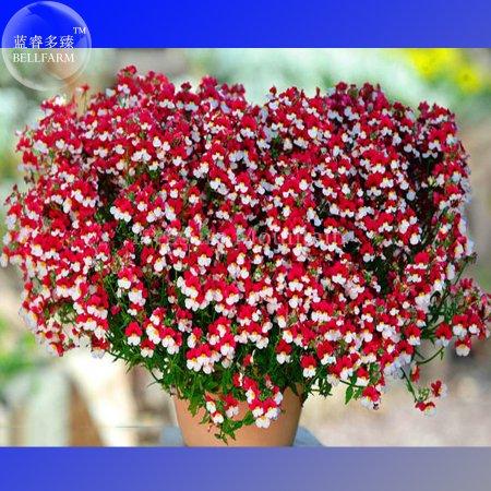 Us 099 bellfarm nemesia strumosa danish flag flower seeds bellfarm nemesia strumosa danish flag flower seeds professional pack 30 seeds bonsai red mightylinksfo